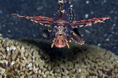 Shortfin lionfish Stock Photography