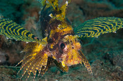 Shortfin lionfish Dendrochyrus brachypterus in Gorontalo, Indonesia underwater photo. Royalty Free Stock Photo