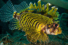 Shortfin lionfish Dendrochyrus brachypterus in Gorontalo, Indonesia underwater photo. Stock Image