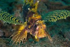Shortfin-Lionfish Dendrochyrus-brachypterus in Gorontalo, Indonesien-Unterwasserfoto Lizenzfreies Stockfoto