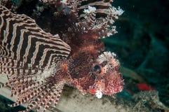 Free Shortfin Lionfish Dendrochyrus Brachypterus In Gorontalo, Indonesia Underwater Photo. Royalty Free Stock Photography - 43825037