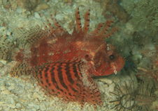 Shortfin lionfish - red variation Royalty Free Stock Images