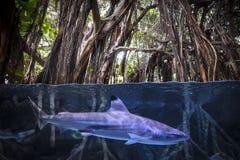 Shortfin mako shark stock image