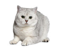 shorthair 15 великобританских месяцев кота старое Стоковые Фотографии RF