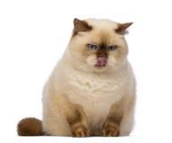 Тучное великобританское Shorthair, 2,5 лет старых, сидящ, смотрящ вниз с завистливостью и лизать Стоковое фото RF