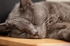 Великобританский сон кота shorthair на деревянной таблице Стоковые Фотографии RF