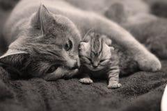 Мама британцев Shorthair обнимая ее младенца Стоковая Фотография RF
