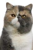 shorthair 8 месяцев кота экзотических старое Стоковые Изображения
