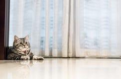 Shorthair americano del gato fotos de archivo