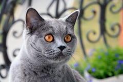 Shorthair azul británico del gato Fotografía de archivo