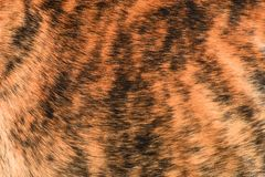 Shorthair brindle dogfur stock photography