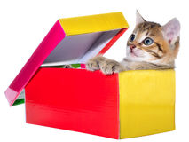 Shorthair brindled kitten in a colorful box isolated Stock Photo