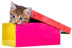 Shorthair brindled kitten in a colorful box isolated Royalty Free Stock Photo