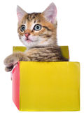 Shorthair brindled kitten in a colorful box isolated Stock Images