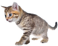 Shorthair brindled kitten crawling sneaking Royalty Free Stock Images