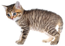 Shorthair brindled kitten crawling sneaking Royalty Free Stock Photo