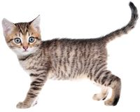 Shorthair brindled kitten crawling sneaking isolated. On a white background Royalty Free Stock Photos