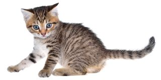 Shorthair brindled kitten crawling sneaking isolated. On a white background Royalty Free Stock Image