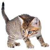 Shorthair brindled kitten crawling sneaking. Isolated Stock Photography