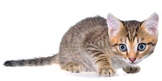 Shorthair brindled kitten crawling sneaking. Isolated Stock Photo