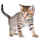 Shorthair brindled kitten crawling sneaking. Isolated on a white background Royalty Free Stock Photo