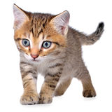 Shorthair brindled kitten crawling sneaking Stock Photos