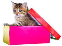 Shorthair brindled kitten hidden in a beautiful gift box isolate Royalty Free Stock Photography