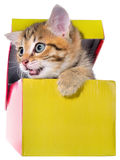 Shorthair brindled kitten hidden in a beautiful gift box isolate Stock Photos