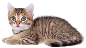 Shorthair brindled kitten lay Royalty Free Stock Image