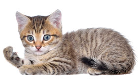 Shorthair brindled kitten lay Stock Image
