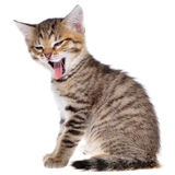 Shorthair brindled kitten mouth Royalty Free Stock Photo