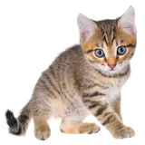 Shorthair brindled kitten playful Royalty Free Stock Photos