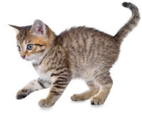 Shorthair brindled kitten playful Royalty Free Stock Image