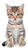 Shorthair brindled kitten Royalty Free Stock Photo