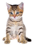 Shorthair brindled kitten Royalty Free Stock Photography
