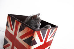 Shorthair britânico Fotografia de Stock Royalty Free