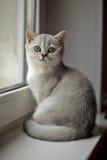 Shorthair britânico cinzento Foto de Stock Royalty Free