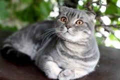Shorthair brit?nico cinzento Retrato do gato brit?nico de Shorthair que encontra-se em um fundo verde imagens de stock