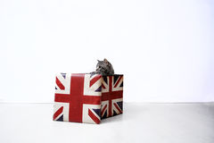 Shorthair britannico Immagine Stock