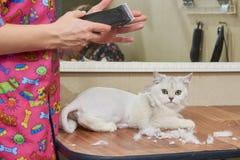 Shorthair britannique blanc, salon de toilettage Photo libre de droits