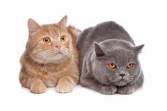 Shorthair britannique bleu et un chat de ragondin rouge du Maine Photos libres de droits