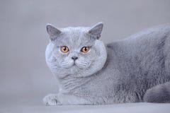 Shorthair brytyjski kot Obrazy Stock