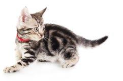 Shorthair cat kitten. American Shorthair cat kitten  on white background royalty free stock photo