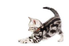 Shorthair cat kitten. American Shorthair cat kitten  on white background Royalty Free Stock Photography