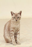Shorthair cat Stock Images
