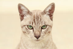 Shorthair cat Royalty Free Stock Images
