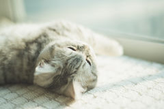 Shorthair cat lying and looking at camera Stock Photos