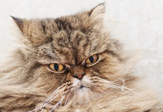 Shorthair cat portrait. Look of the Persian cat. Stock Photo