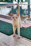 Shorthair cat skinny cream, stands near swimming pool in daytime Royalty Free Stock Image