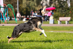 Shorthair collie catching frisbee Stock Images